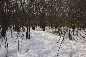 Deer's-eye view of a buckthorn thicket