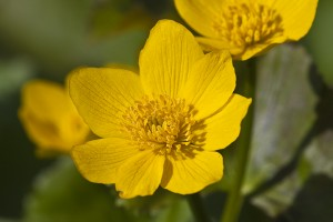 Yellow marsh marigold (Caltha palustris var. palustris)