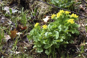 yellow marsh marigold (Caltha palustris)