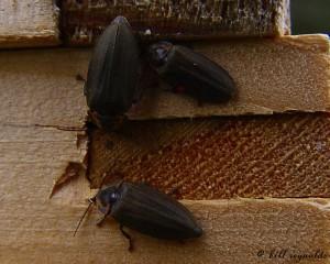 winter firefly