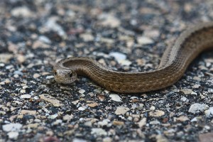 Texas brown snake