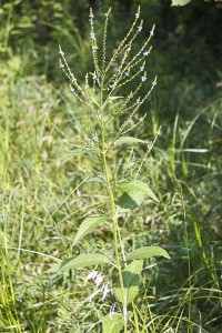 White vervain (var. urticifolia)