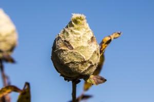 willow pinecone gall midge