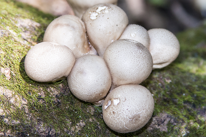 Pear-shaped Puffball