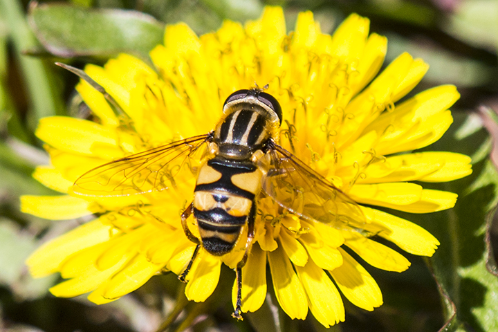 hoverfly (Helophilus fasciatus)