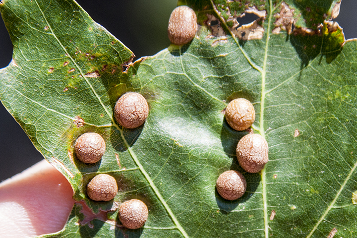 oak leaf gall midge (Polystepha pilulae)