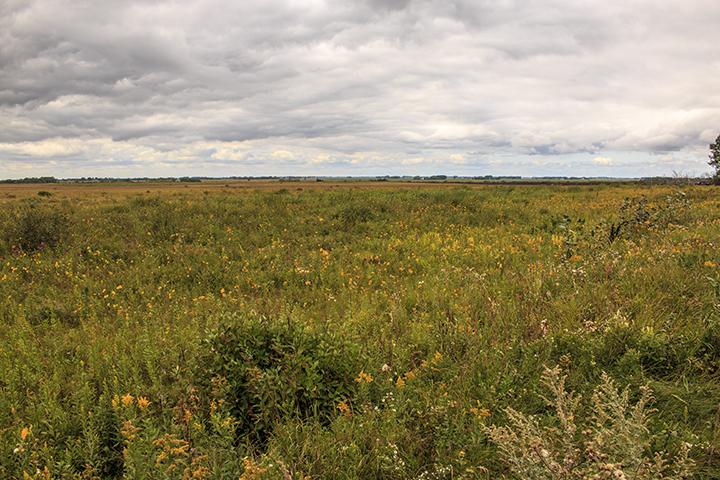 Tympanuchus Prairie