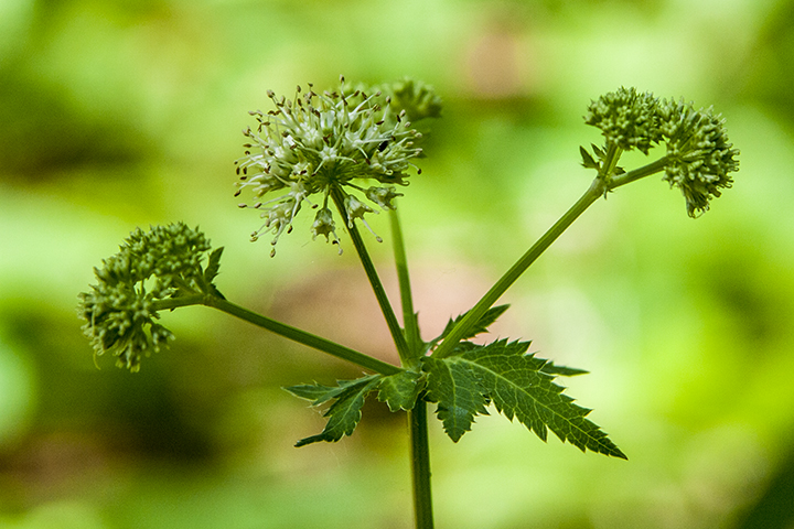 Maryland black snakeroot