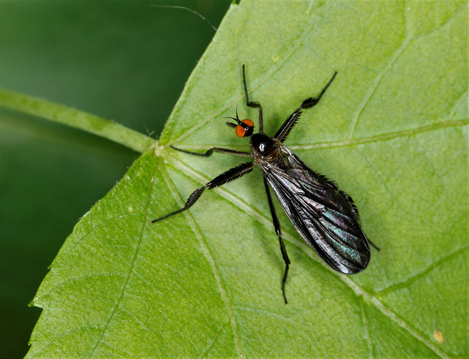 long-tailed dance fly