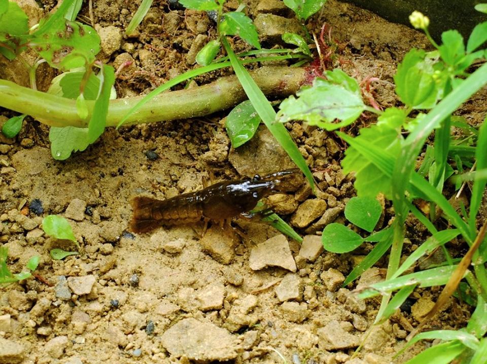 virile crayfish