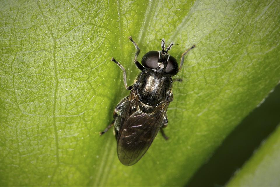 Lesser bulb fly (Eumerus spp.)