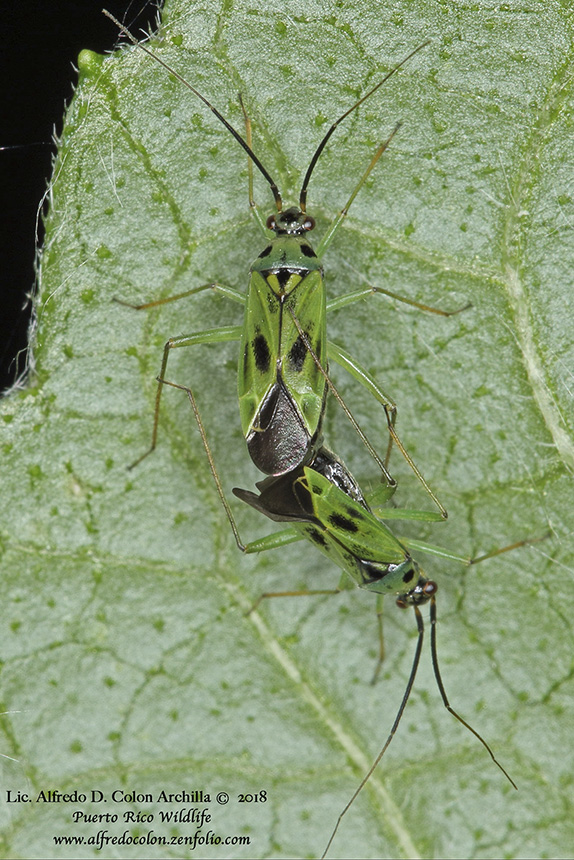 green plant bug
