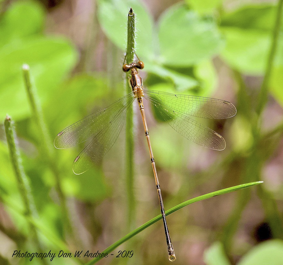 slender spreadwing