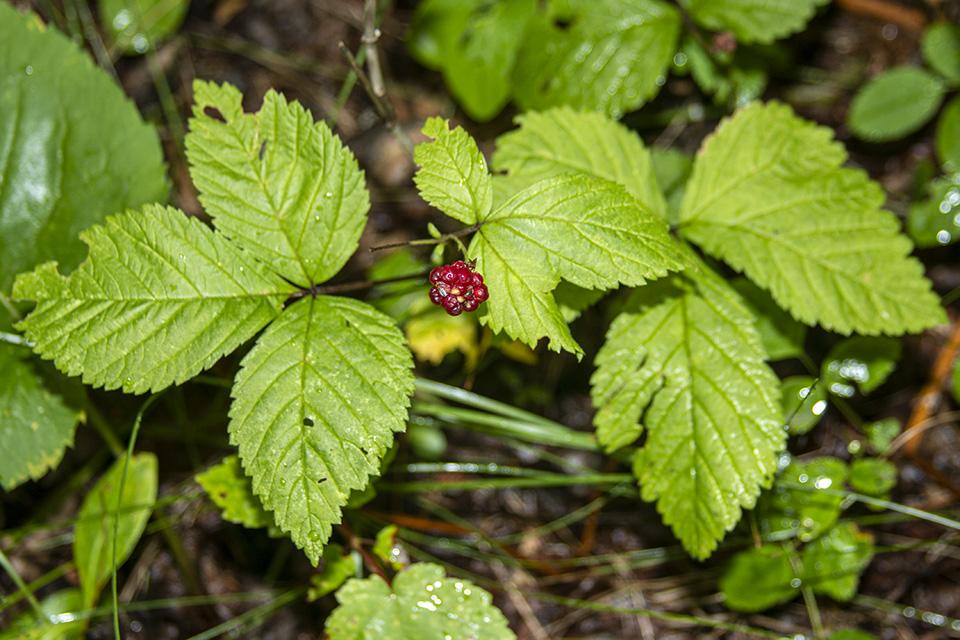 dwarf raspberry