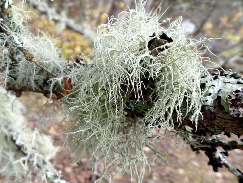 Bristly Beard Lichen