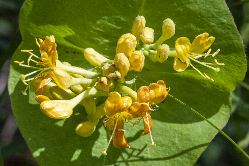 hairy honeysuckle