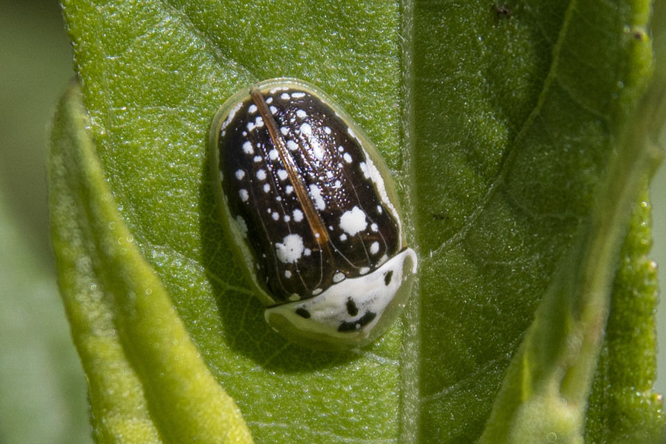 sunflower tortoise beetle