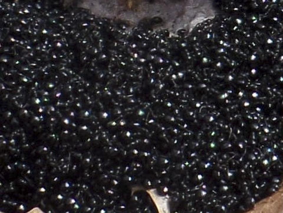 Taschenberg's long-necked ant