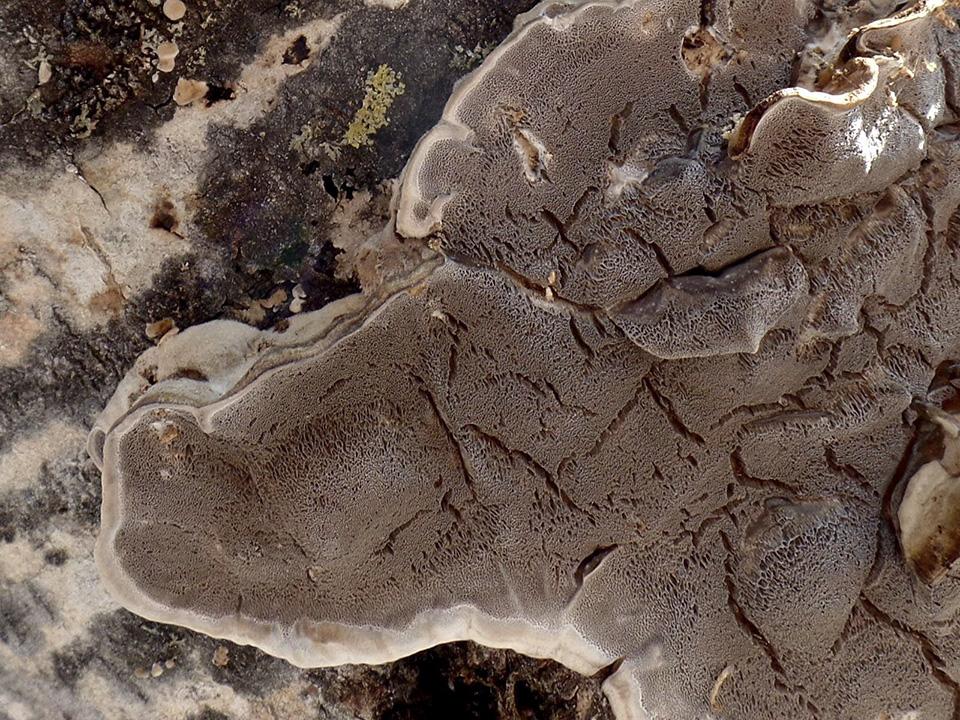 Mossy Maze Polypore