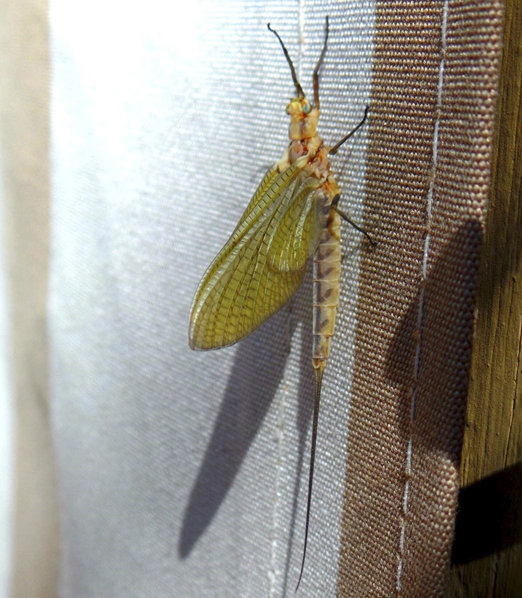 Giant mayfly
